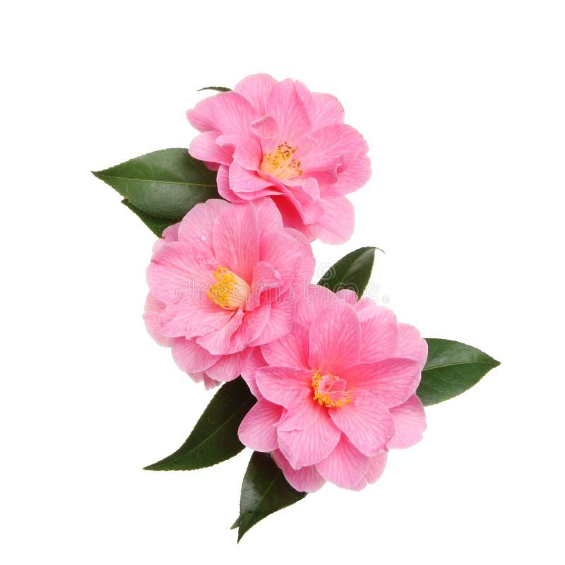 Trois fleurs de camélia photo stock