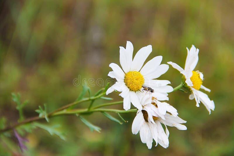 Trois fleurs de camomille de champ, partiellement podvyavsheie, sur un fond brouillé par vert Sur la marguerite là repose la peti photos libres de droits