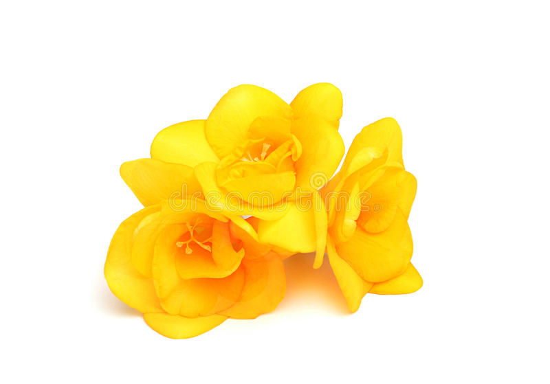 Trois fleurs de freesia jaune image stock