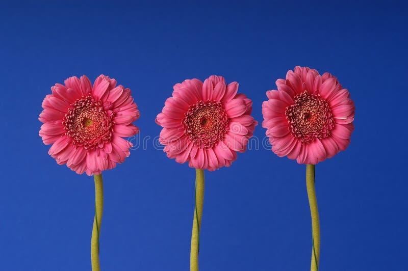 Trois fleurs de gerber image libre de droits