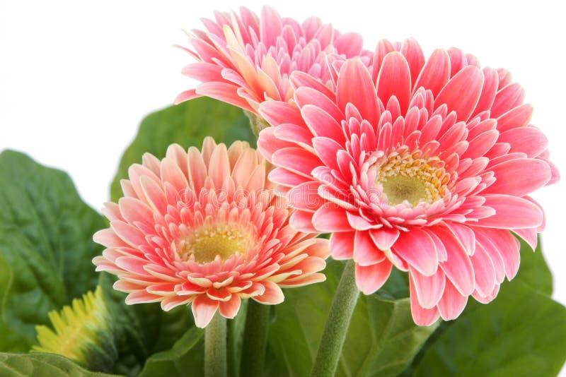Trois fleurs de gerber photographie stock libre de droits