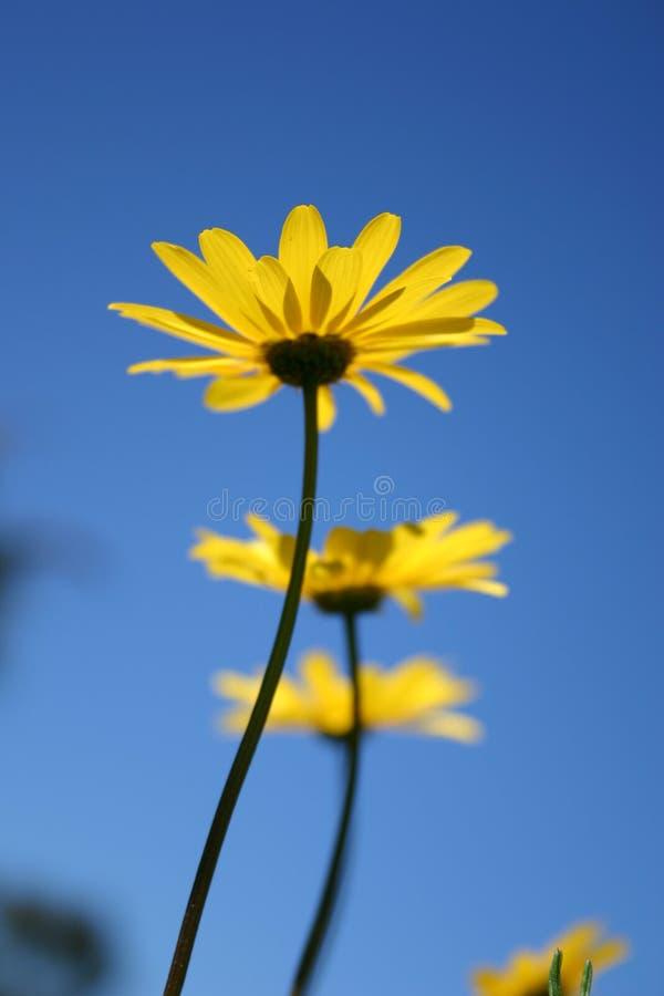 Trois Fleurs Jaunes Photographie stock libre de droits