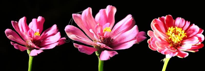 Trois fleurs roses de Zinnia sur le fond noir photo stock