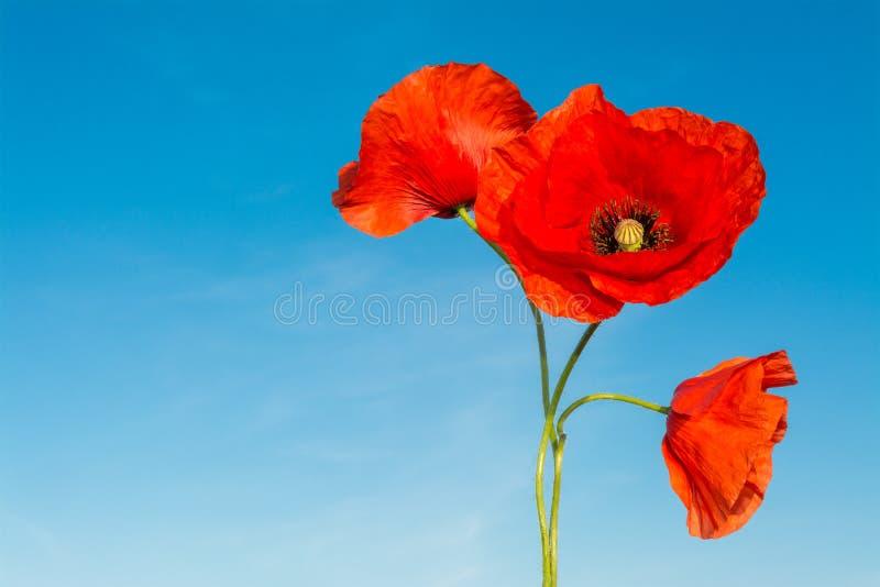Trois fleurs rouges des pavots sur un fond de ciel bleu Rhoeas de pavot image libre de droits
