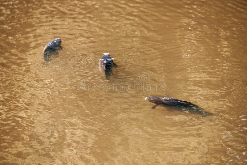 Trois flotteurs de carpe dans l'eau photographie stock libre de droits