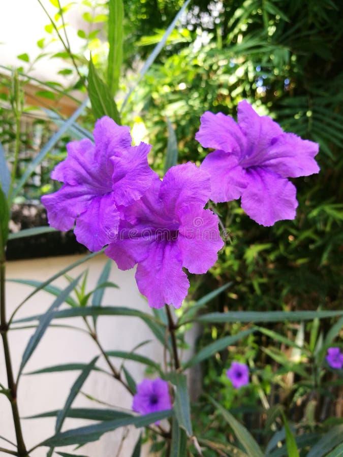 Trois flowerss pourpres de waterkanon image libre de droits