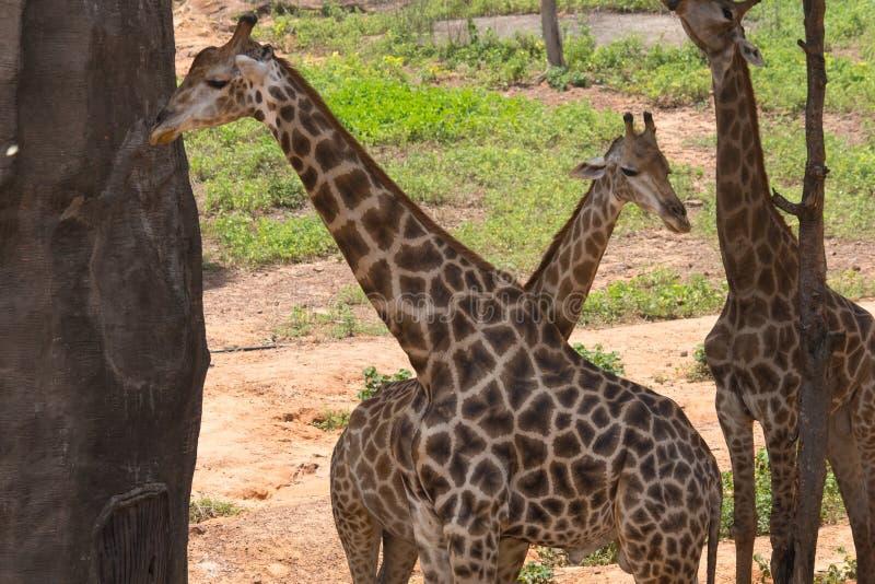 Trois girafes dans le domaine dans le zoo photographie stock libre de droits