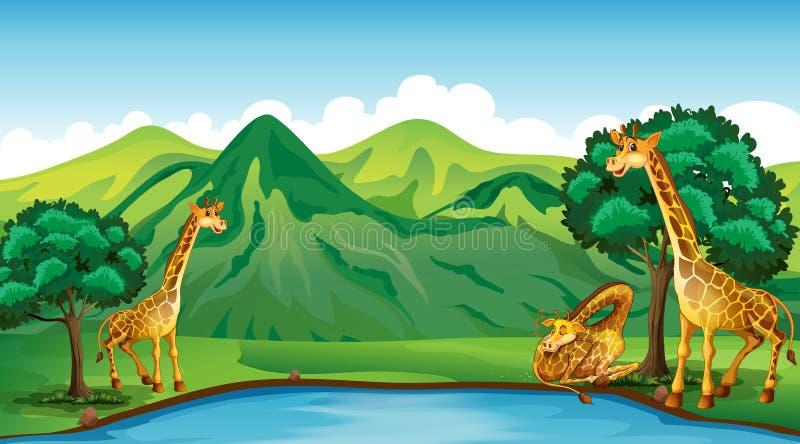 Trois girafes par l'étang illustration stock