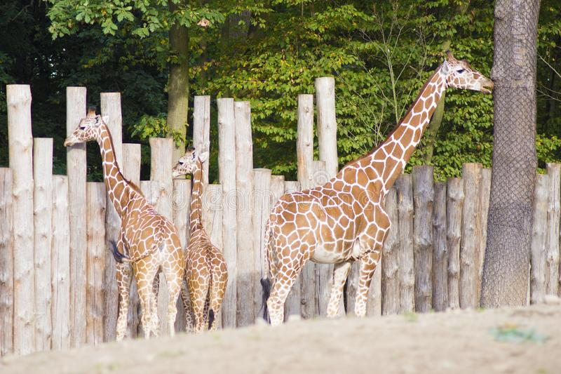 Trois giraffes photo libre de droits