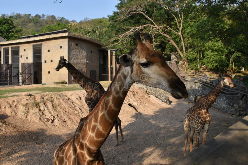 Trois giraffes photographie stock