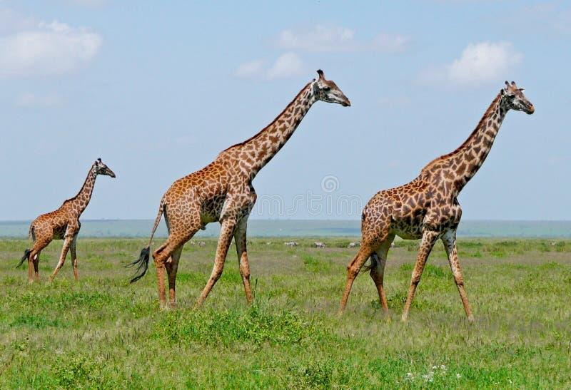 Trois giraffes dans la savane image libre de droits