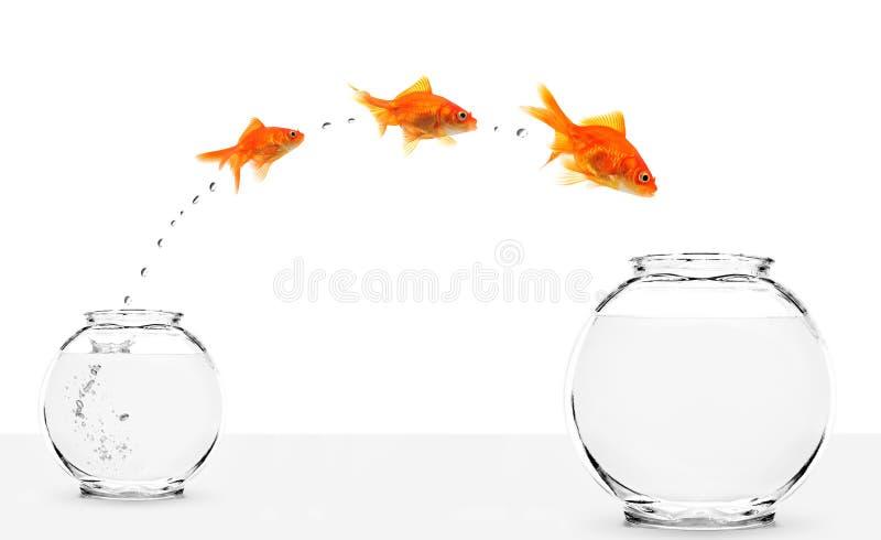Trois goldfishes branchant de petit dans une plus grande cuvette image libre de droits
