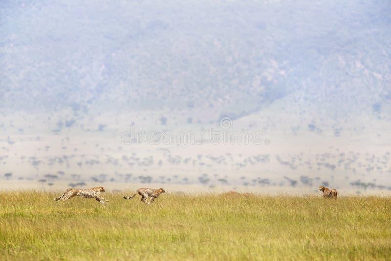 Trois guépards fonctionnant par Masai Mara images libres de droits