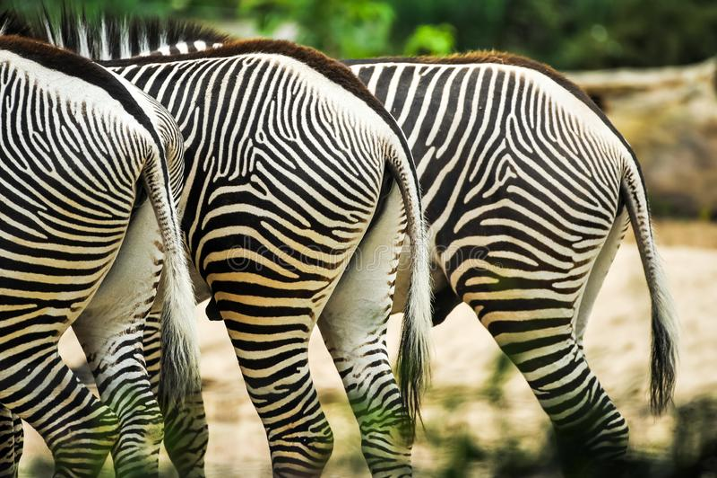 Trois halfs de zèbres dans le zoo grasing près de l'un l'autre image stock
