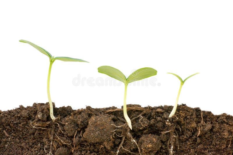 Trois hauts étroits croissants différents d'usines de concombre Racines et sol photos libres de droits