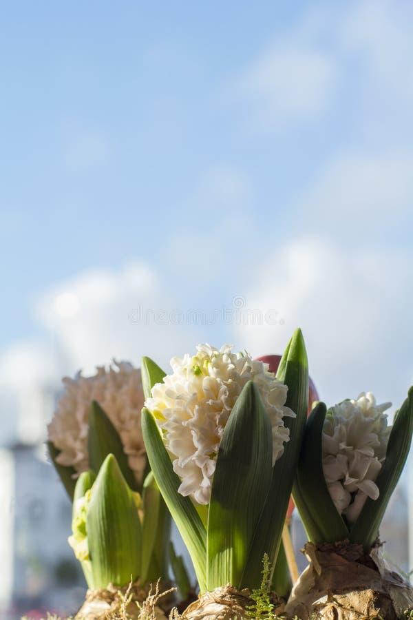 Trois hyacinthes se développants avec le ciel bleu photos libres de droits