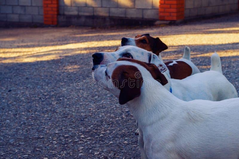 Trois Jack Russell recherchant photo libre de droits