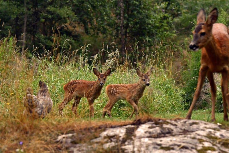 Trois jeunes cerfs communs sauvages d'oeufs de semaines, capreolus de Capreolus photo libre de droits