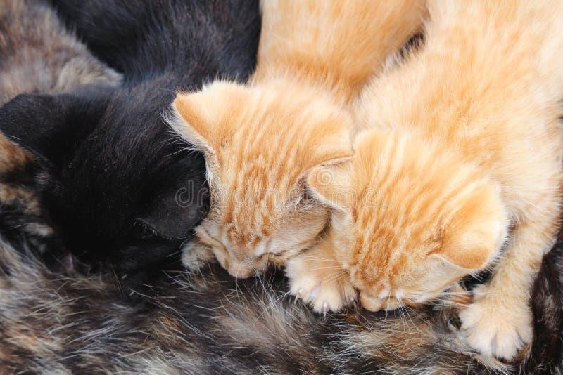 Trois jeunes chatons allaitant du chat de maman de tortoishell photographie stock