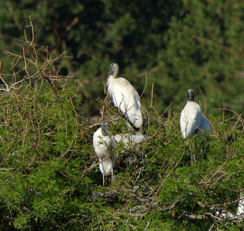 Trois jeunes cigognes roosting dessus et île photographie stock
