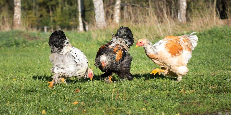 Trois jeunes coqs de Brahma frôlent sur le pâturage image stock