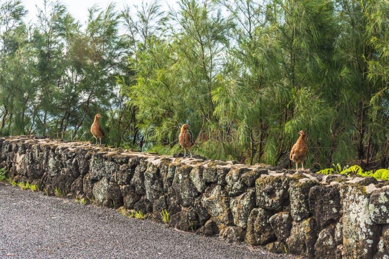 Trois jeunes coqs sur le mur, Hawaï photos stock