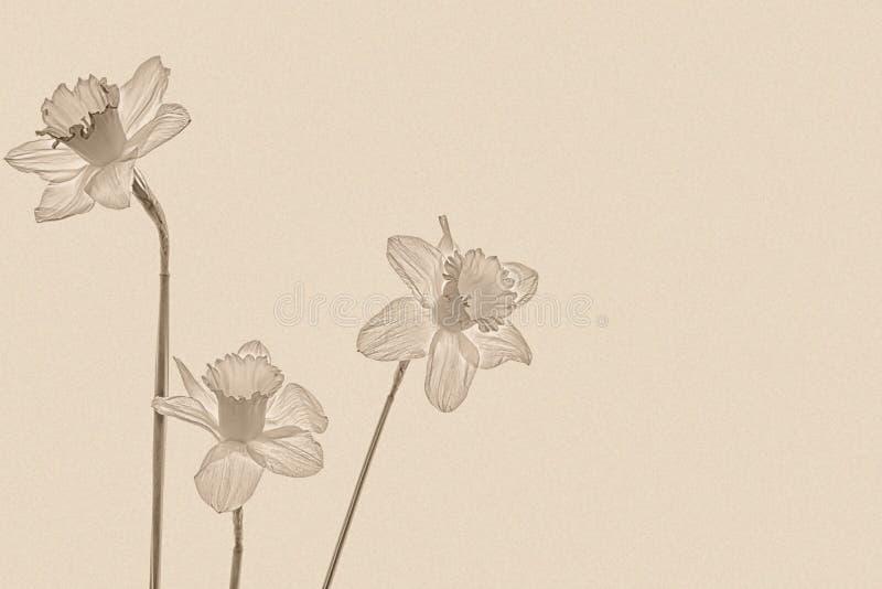 Trois jonquilles sur un fond de papier texturisé, sépia image stock