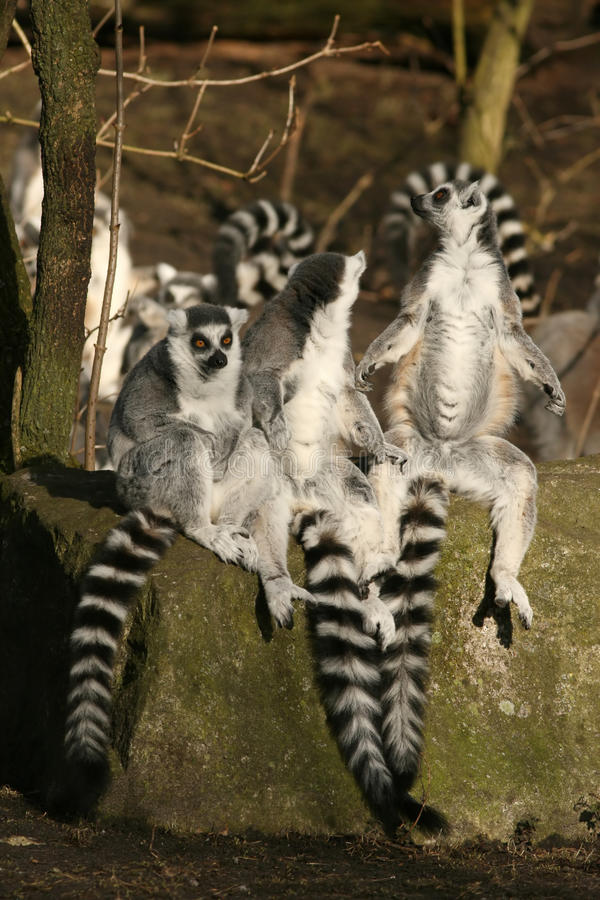 Trois lemurs ring-tailed se reposant sur une roche images stock