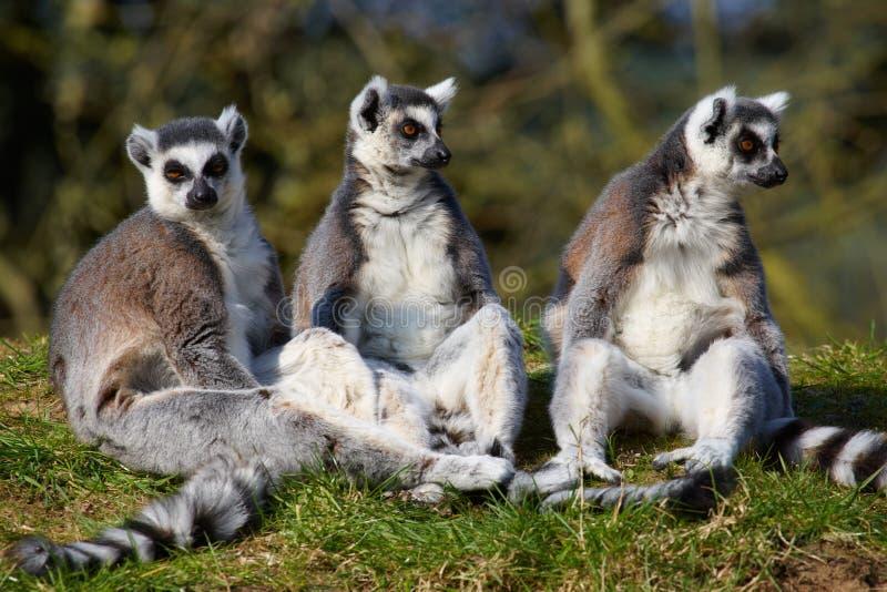 Trois lemurs Ring-tailed sur une ligne photos stock