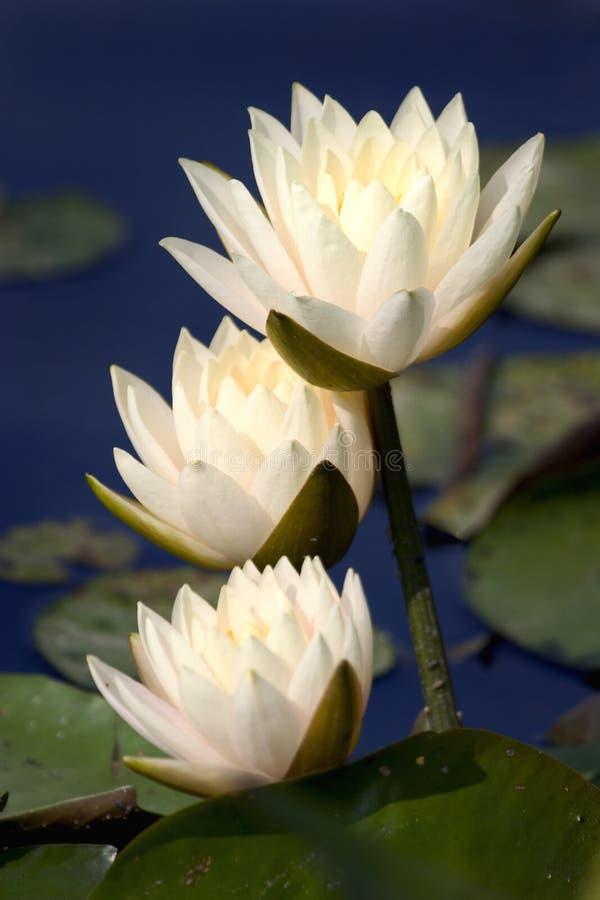 Trois lilys jaunâtres rose-clair de l'eau photos stock
