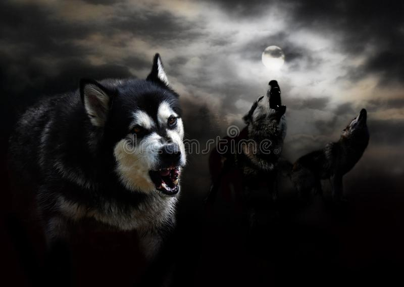 Trois loups et une lune dans les nuages photo libre de droits