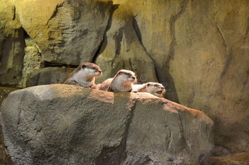 Trois loutres de mer brunes se reposent, se dorent sur la pierre et regardent loin photographie stock