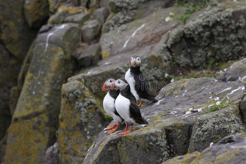 Trois macareux atlantiques (arctica de Fratercula) se tenant sur une roche image stock