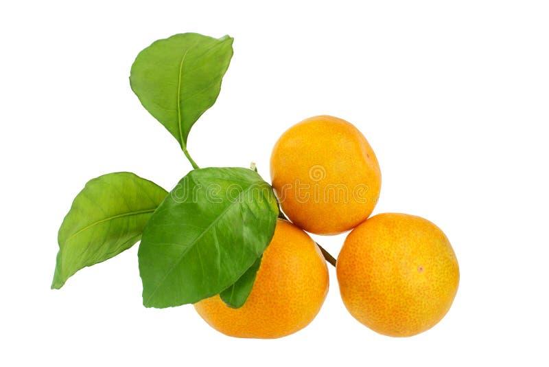 Trois mandarines sur une branche avec les feuilles vertes sur un plan rapproché d'isolement par fond blanc photos stock