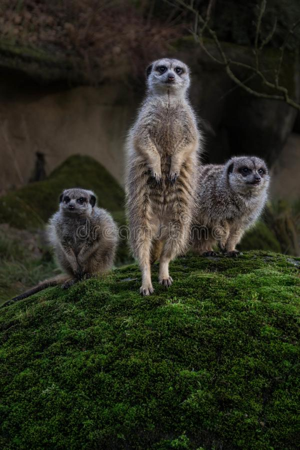 Trois meerkats photos libres de droits