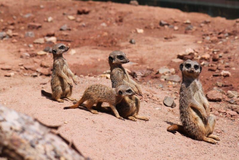 Trois meerkats dans une ligne et petite photos libres de droits