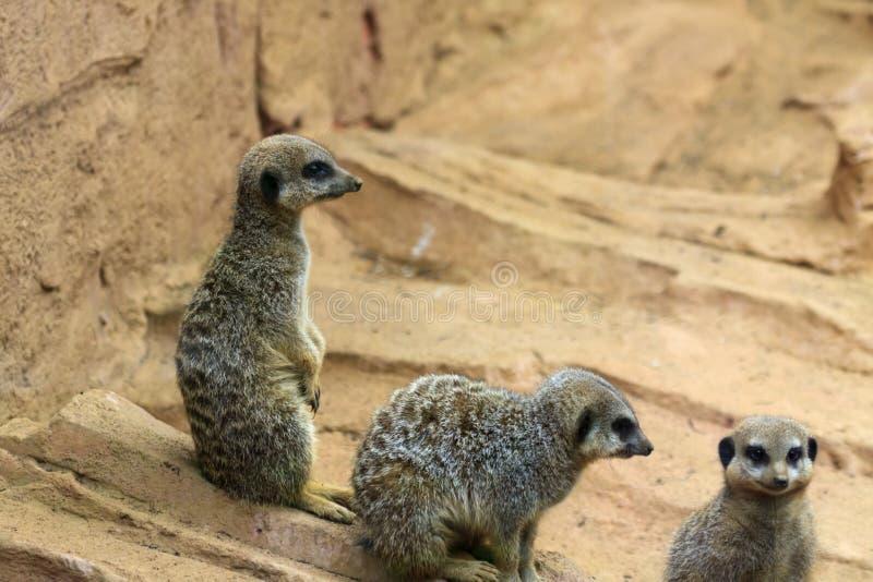 Trois Meerkats ensemble photographie stock libre de droits