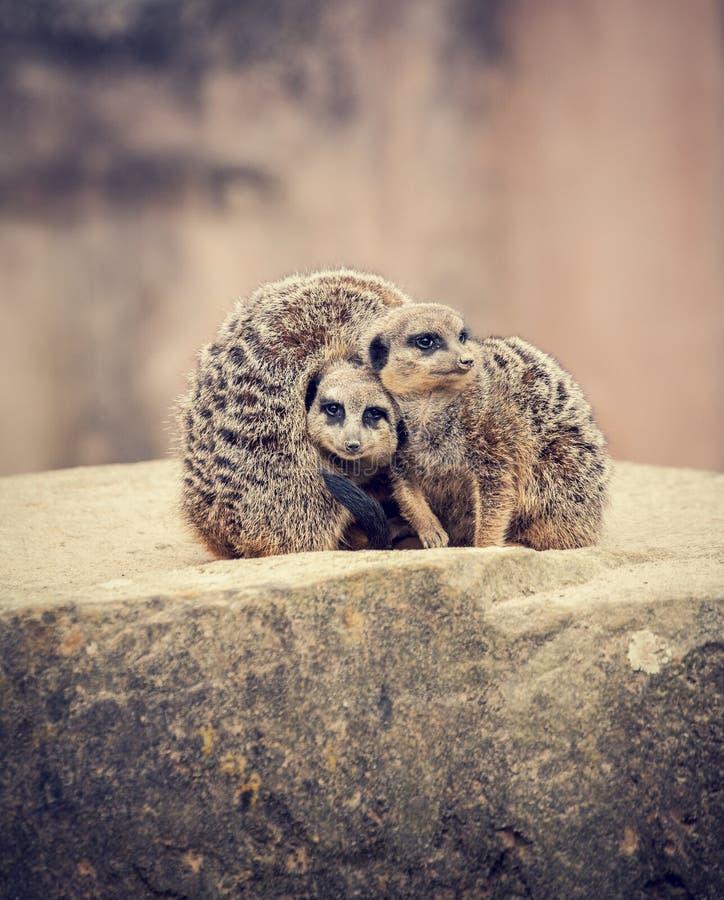 Trois meerkats se blottissent ensemble images libres de droits