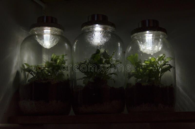 Trois minis-serres de fittonia avec les lampes solaires sur le dessus photo stock