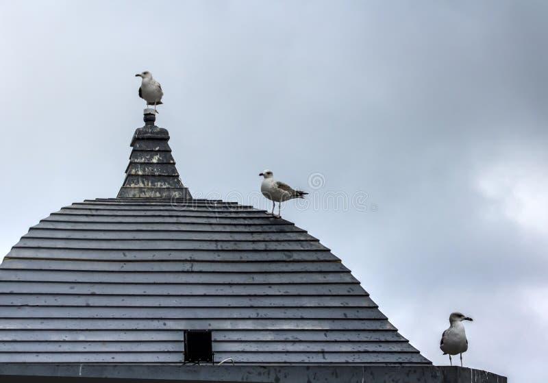 Trois mouettes attendant Godot sur un dessus de toit en bois sur un monde gris et neutre photographie stock libre de droits