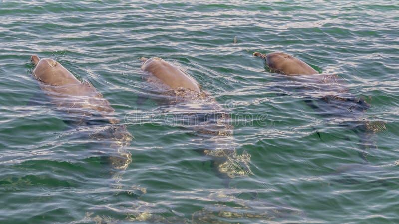 Trois natations de dauphins de bottlenose et on jaillissant par sa soufflure en mer de Rockingham, Australie occidentale photographie stock