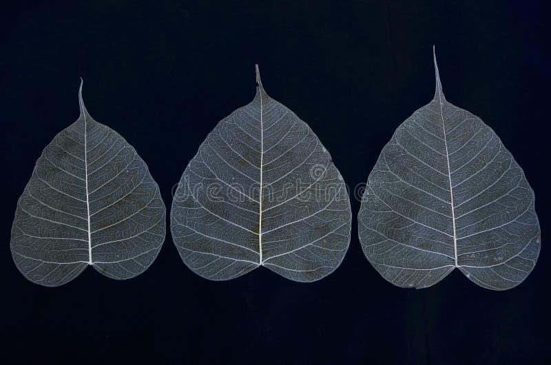 Trois nervures de feuille de banian photo stock