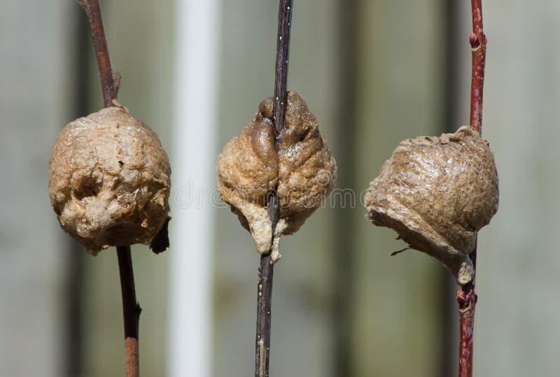 Trois nids de mante de prière, côté, avant, et vues arrières photographie stock