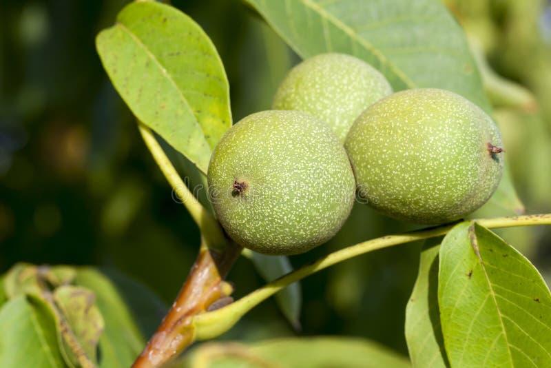 Trois noix vertes images stock