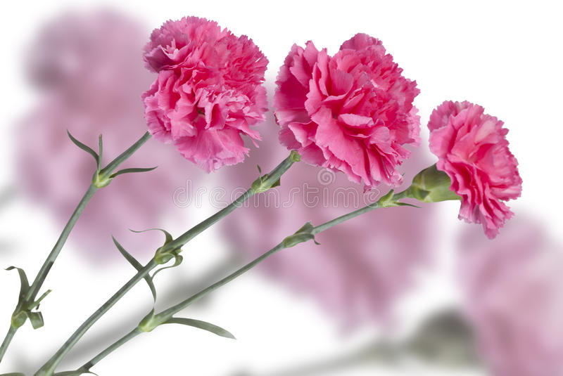 Trois oeillets roses images stock