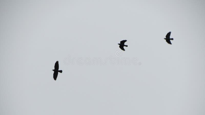 Trois oiseaux dans un ciel calme photos libres de droits