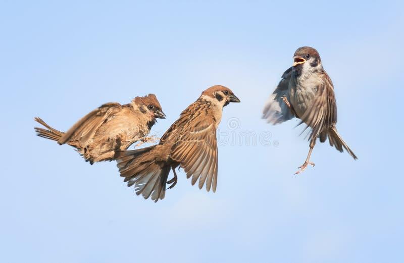 Trois oiseaux volent et jouent dans le ciel image stock