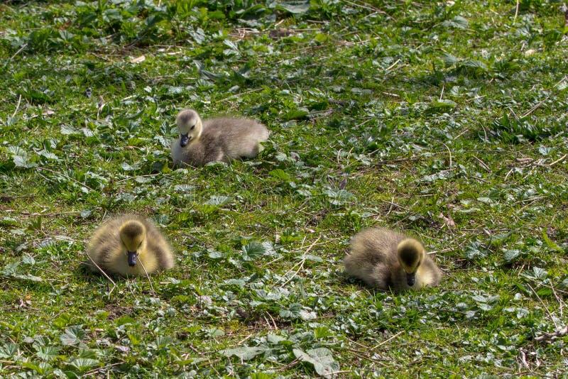 Trois oisons très jeunes se reposent tranquillement Stationnement de Stanley, Vancouver photographie stock