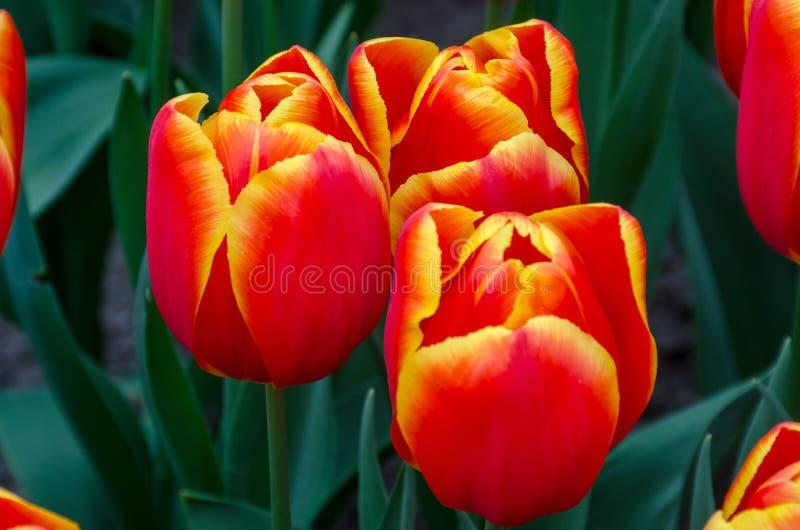 Trois oranges et tulipes jaunes images stock