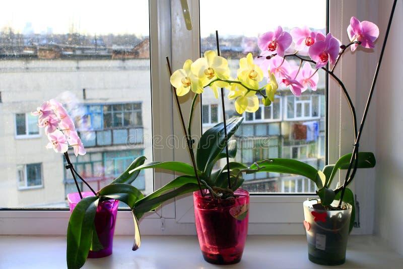 Trois orchidées de floraison différentes dans des pots de fleurs photographie stock
